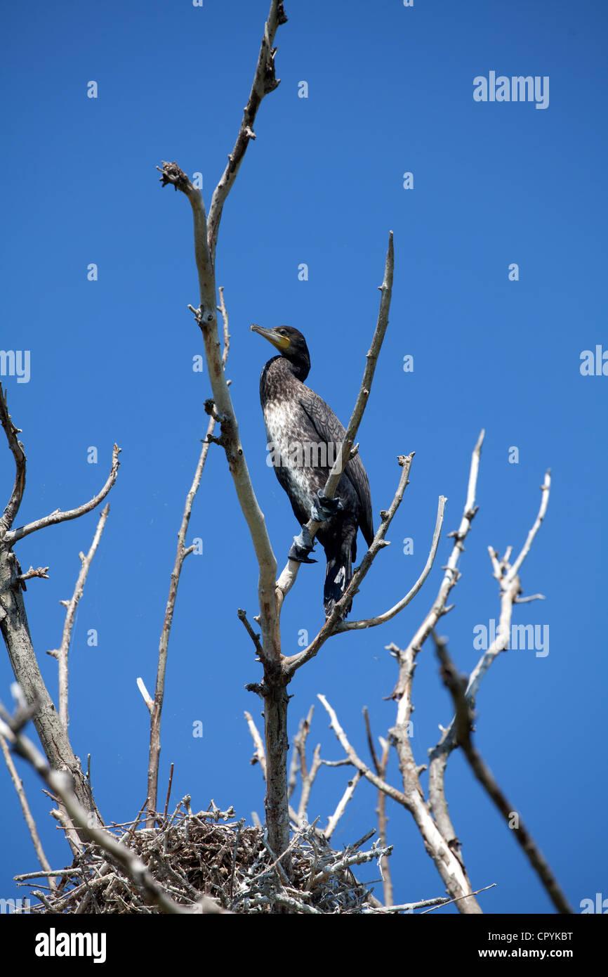 Erodios,lake Kerkini,grèce,,oiseaux,nature,nid de l'écosystème Photo Stock