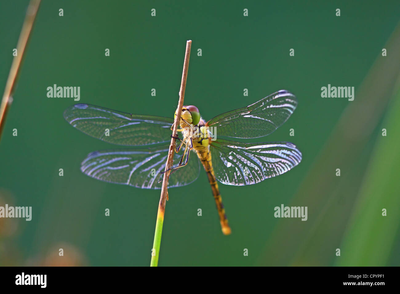 Exemple de jeunes Four-spotted Chaser (Libellula quadrimaculata), dragonfly Photo Stock