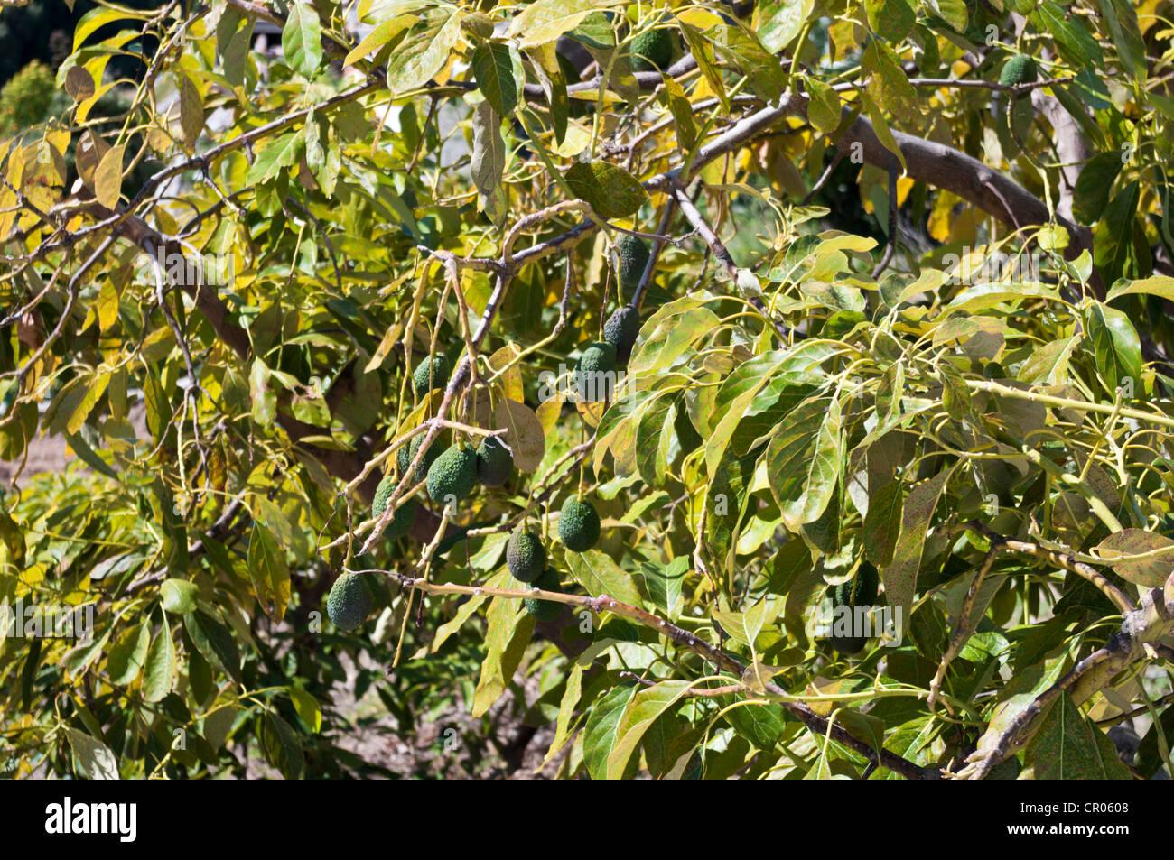 persea americana ou poire d'avocat in situ sur l'arbre banque d
