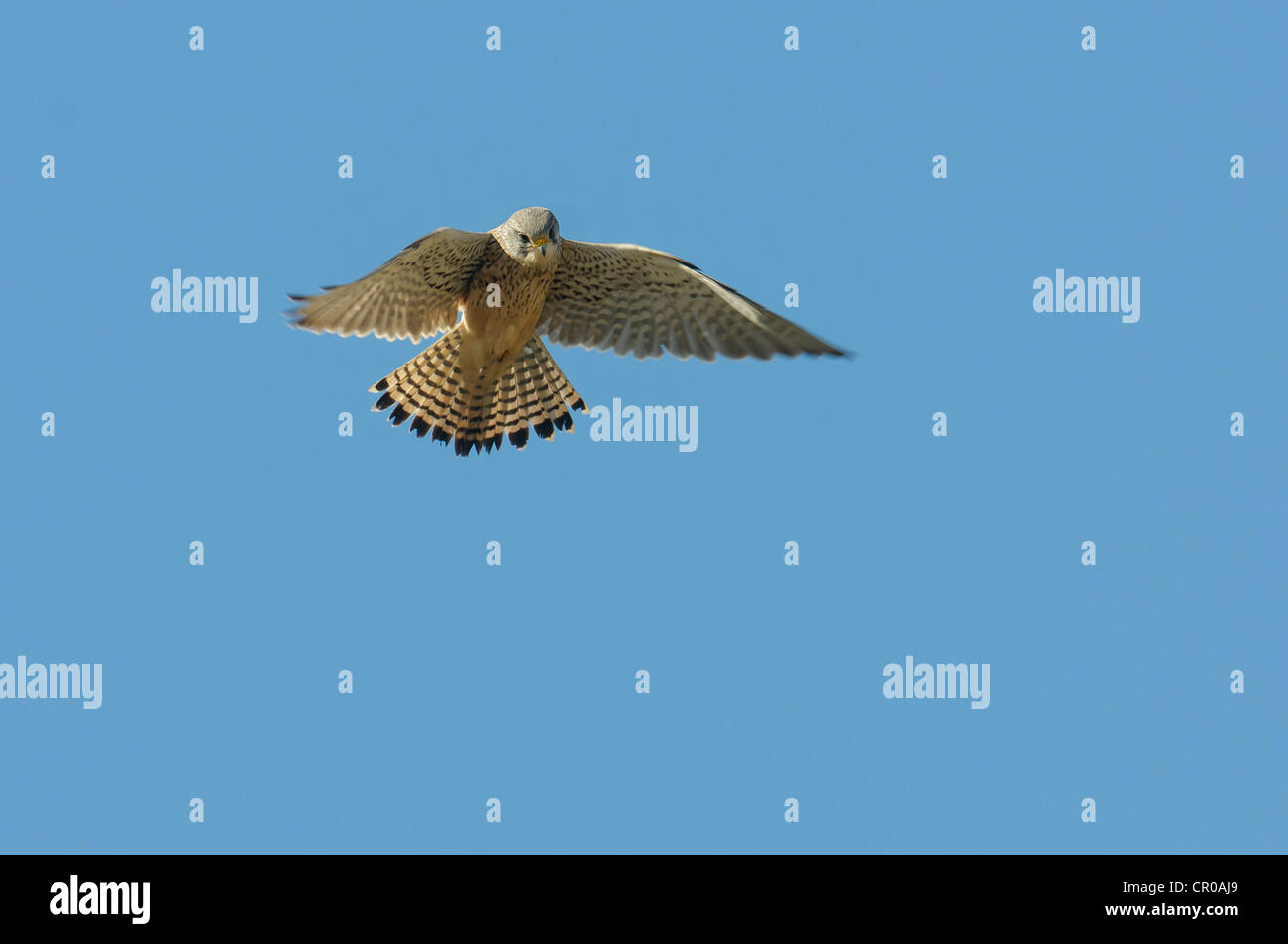 Faucon crécerelle (Falco tinnunculus) mâle en vol stationnaire. Norfolk, Angleterre. Mai. Photo Stock
