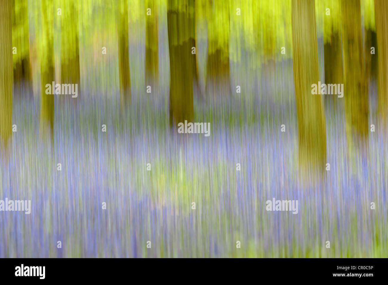 Impression photographique de bois bluebell au printemps. Forêt de Ashridge dans le Hertfordshire, en Angleterre. Mai. Banque D'Images