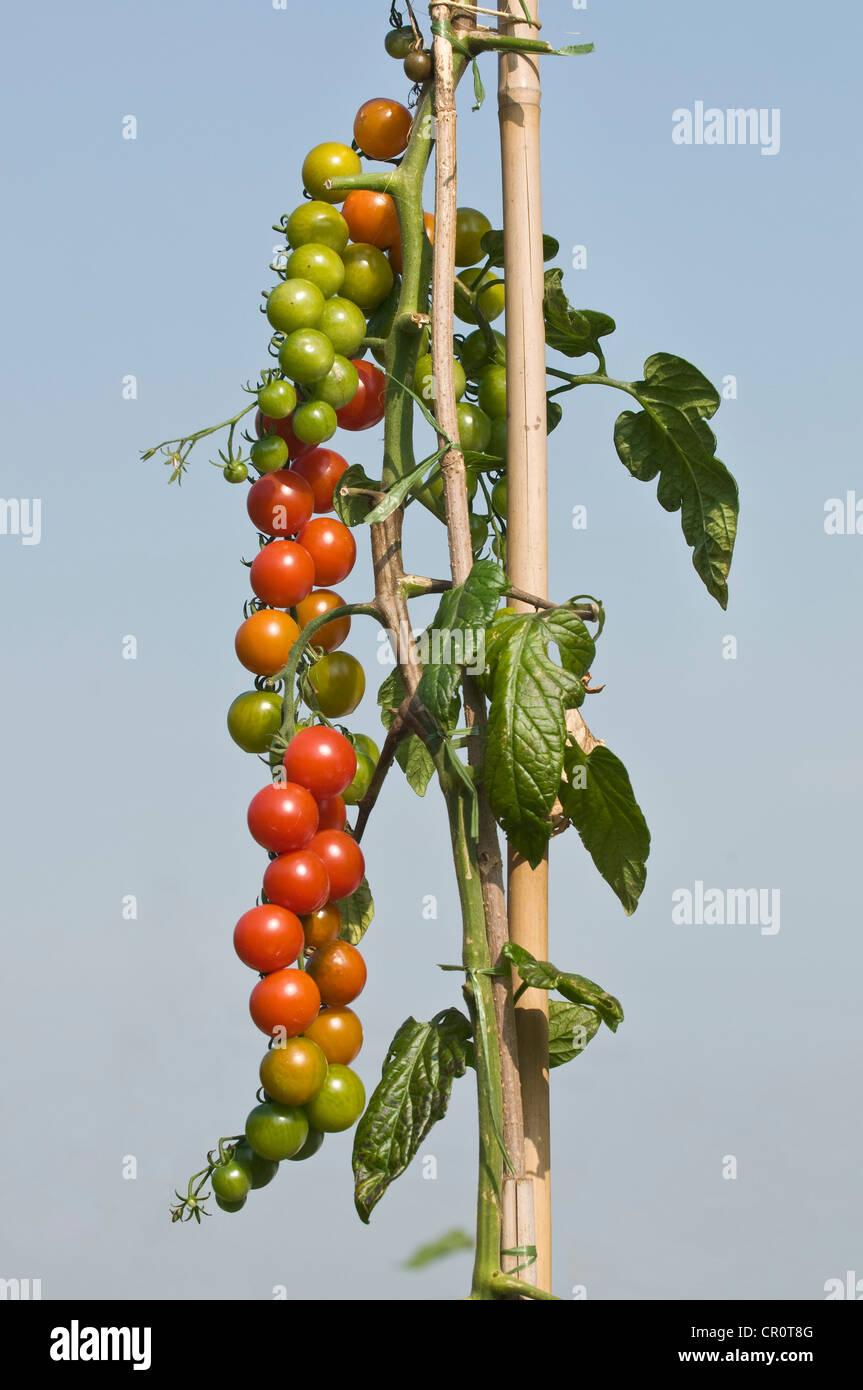 Attaché tomato vine avec beaucoup de tomates, propre jardin, l'auto-approvisionnement Photo Stock