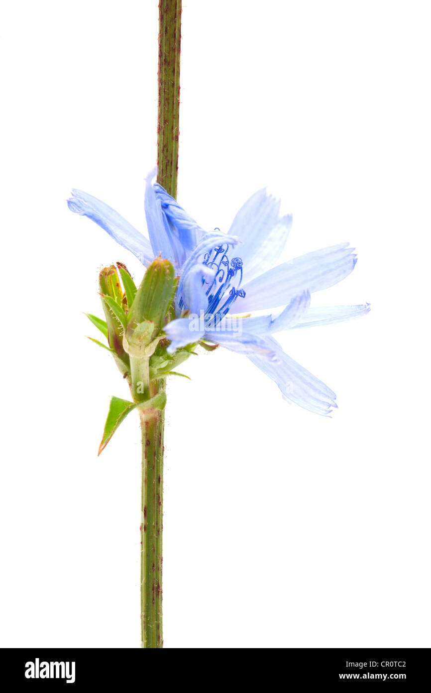Chicorée commune (Cichorium intybus), plante médicinale Photo Stock