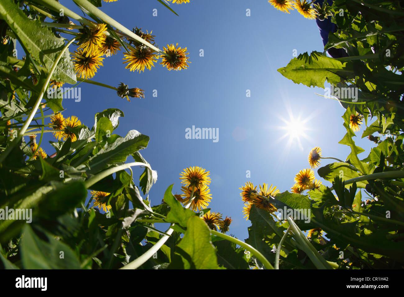 Le pissenlit prairie, frog perspective, région de Bregenzerwald Vorarlberg, Autriche, Europe Photo Stock