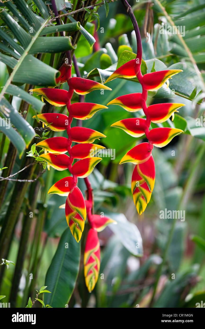 Pince de homard, faux-bird-of-paradise (Heliconia Rostrata), Atherton Tablelands, Queensland, Australie Photo Stock