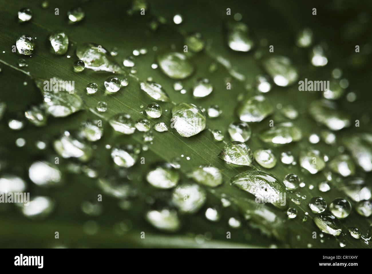 Close up of water droplets on leaf Banque D'Images