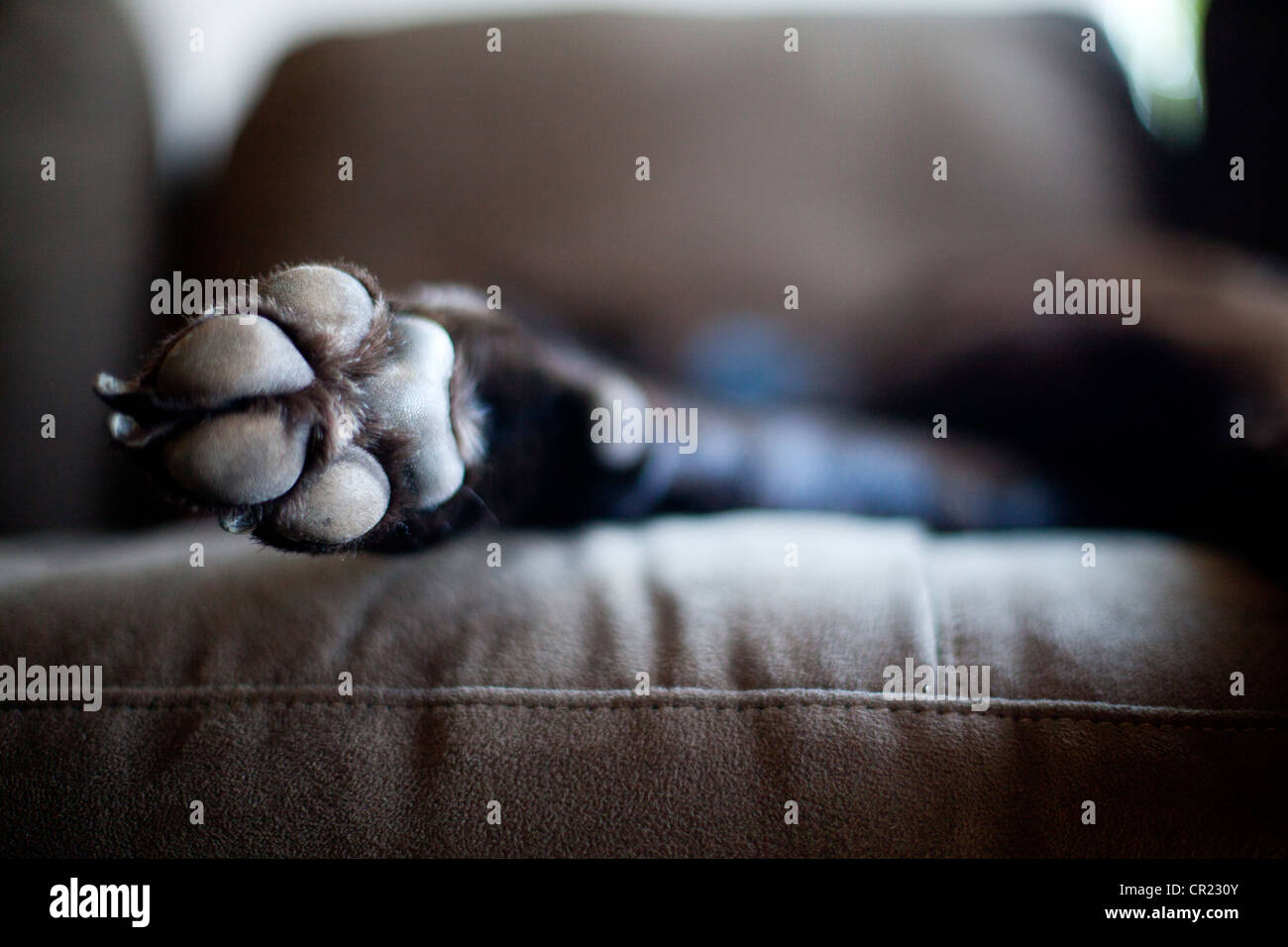 USA, Utah, Salt Lake City, Dog lying on sofa Photo Stock