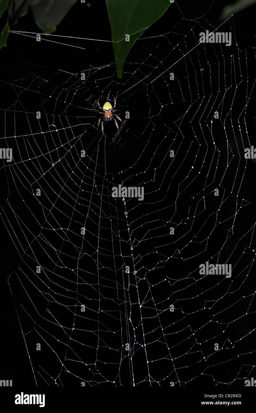 Dans l'Araignée orb web, Costa Rica Photo Stock