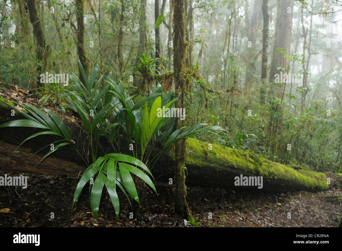 Forêt tropicale humide, Cerro de la Muerte, Costa Rica Photo Stock