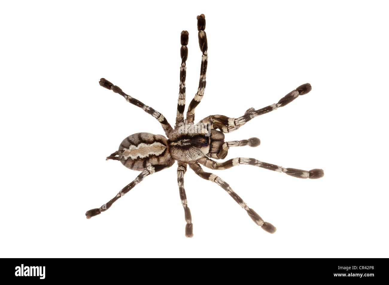 Ornementales frangée Tarantula (Poecilotheria ornata) Photo Stock