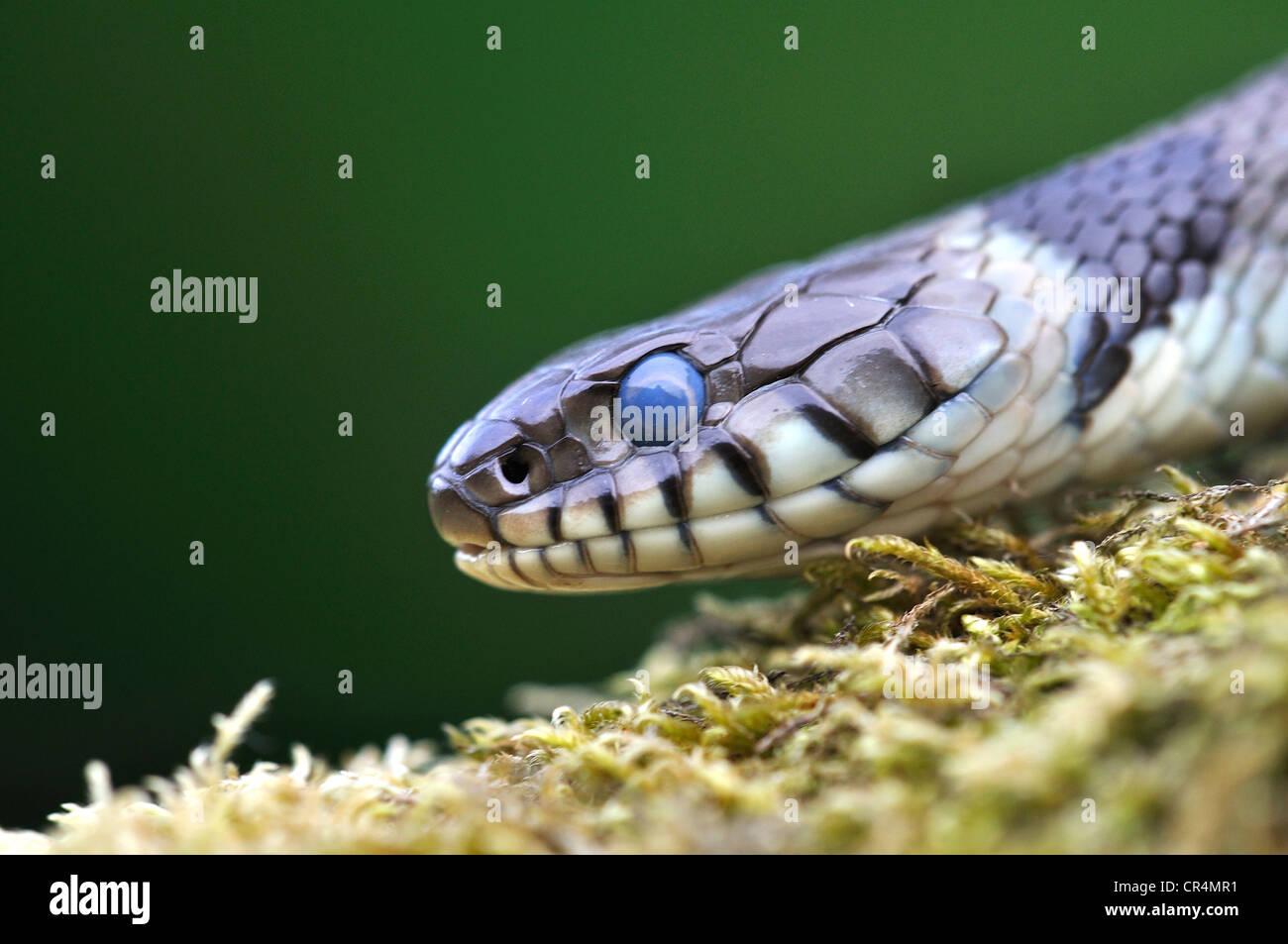 Couleuvre à collier natrix serpent reptile Banque D'Images