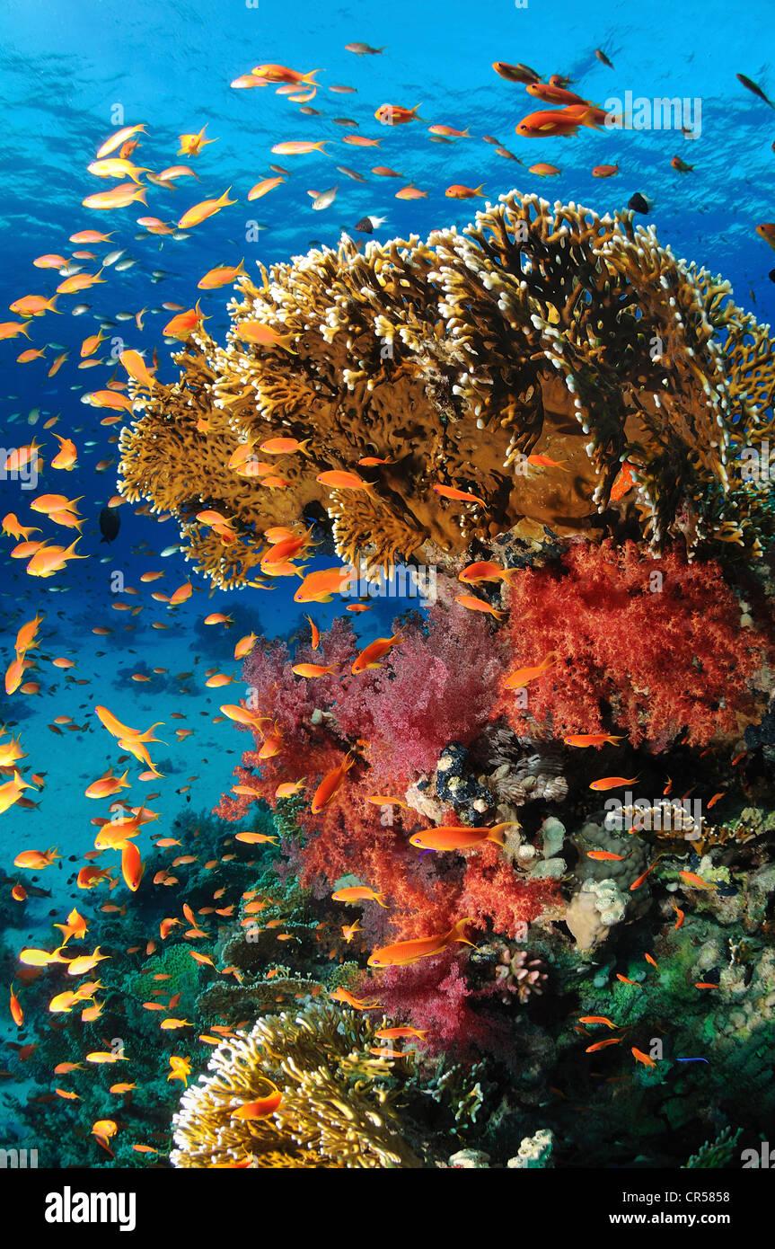 L'Egypte, Mer Rouge, un récif de corail, vue sous-marine Banque D'Images