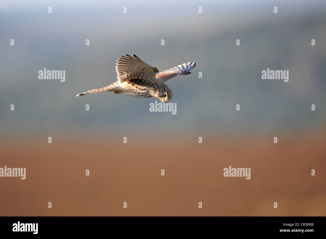 Crécerelle (Falco tinnunculus), planant, Germany, Europe Photo Stock