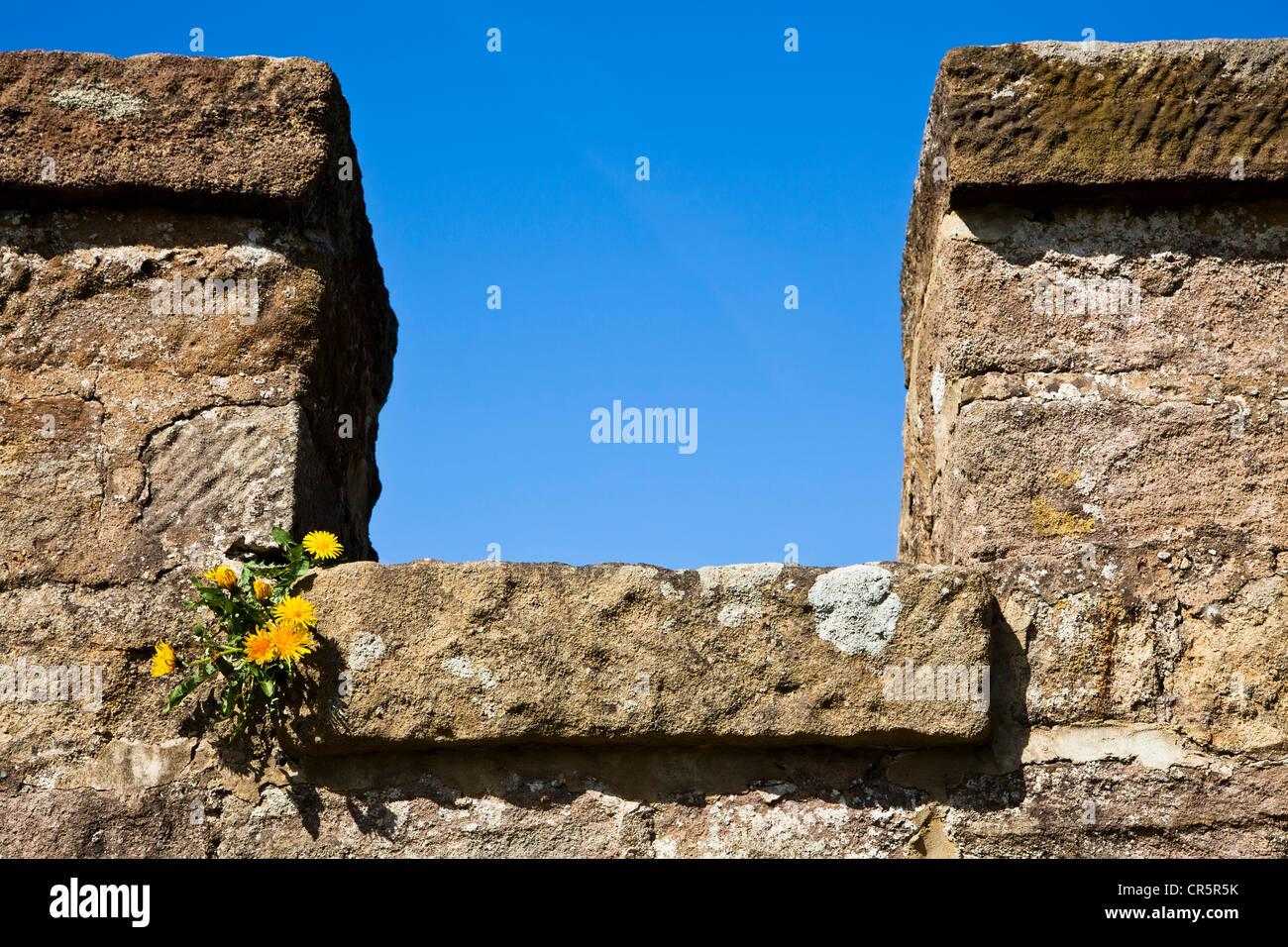 Taraxacum officinale, le pissenlit commun sur le castelated murs de Ripley Castle, North Yorkshire. Photo Stock