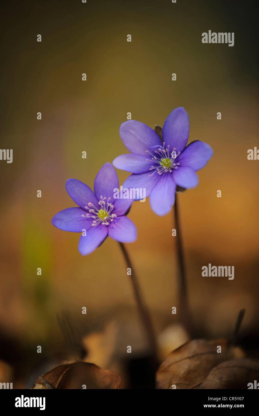 L'hépatique (anemone hepatica), Allemagne Banque D'Images