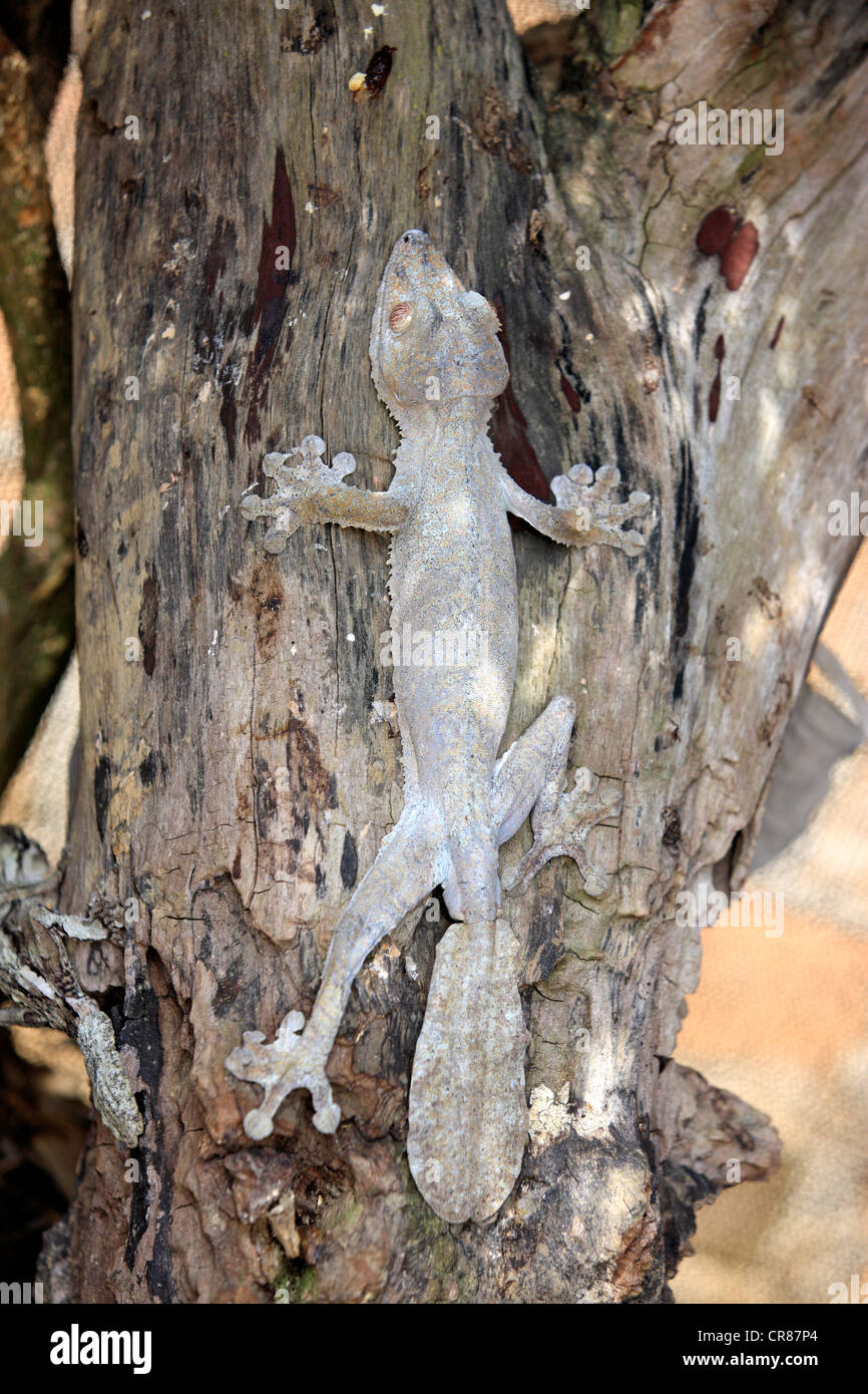 Gecko à queue de feuille moussus (Uroplatus sikorae), camouflée sur un tronc d'arbre Madagascar, Afrique Banque D'Images