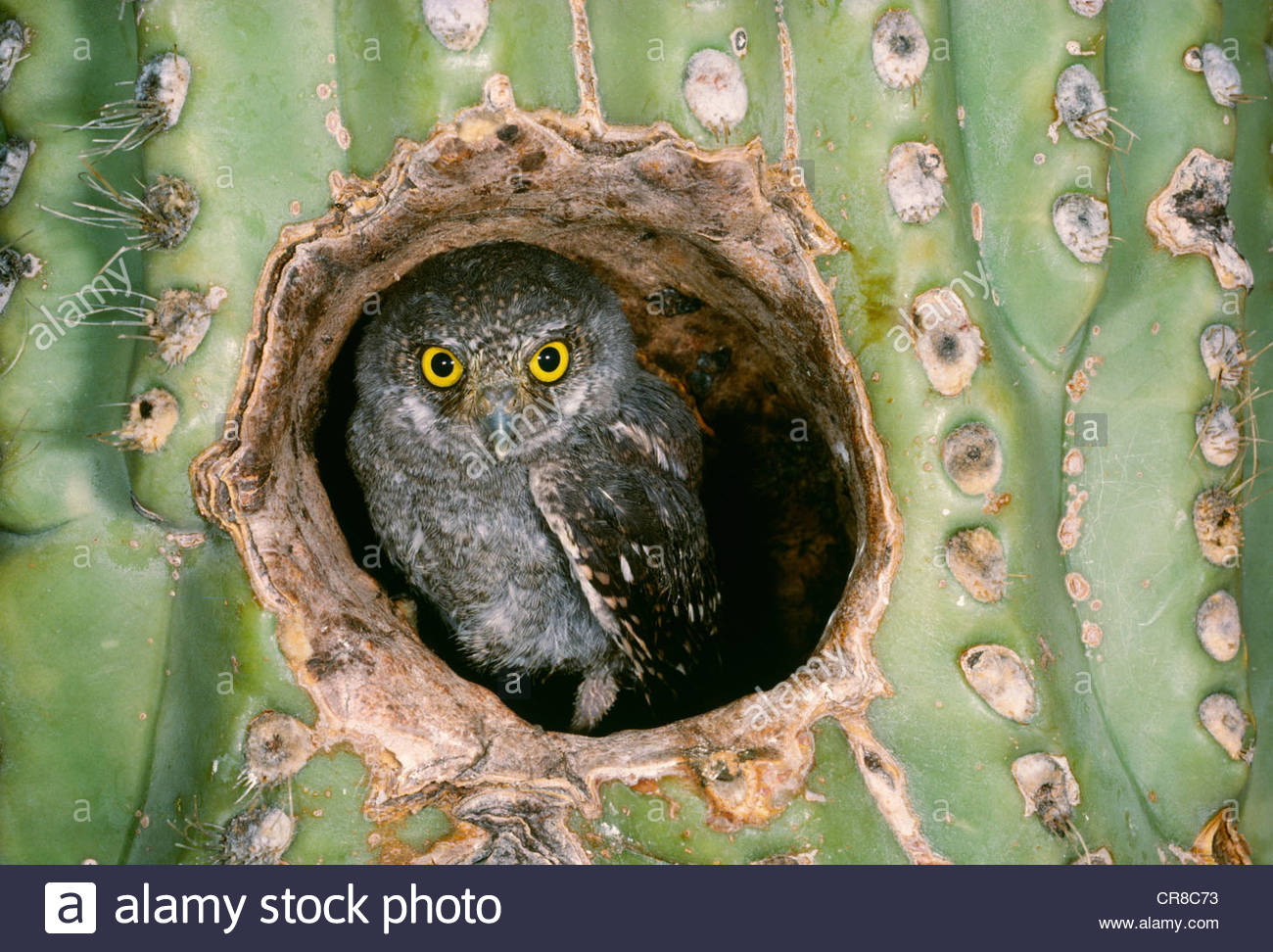 Owlet Elf dans Saguaro Cactus, Arizona Photo Stock