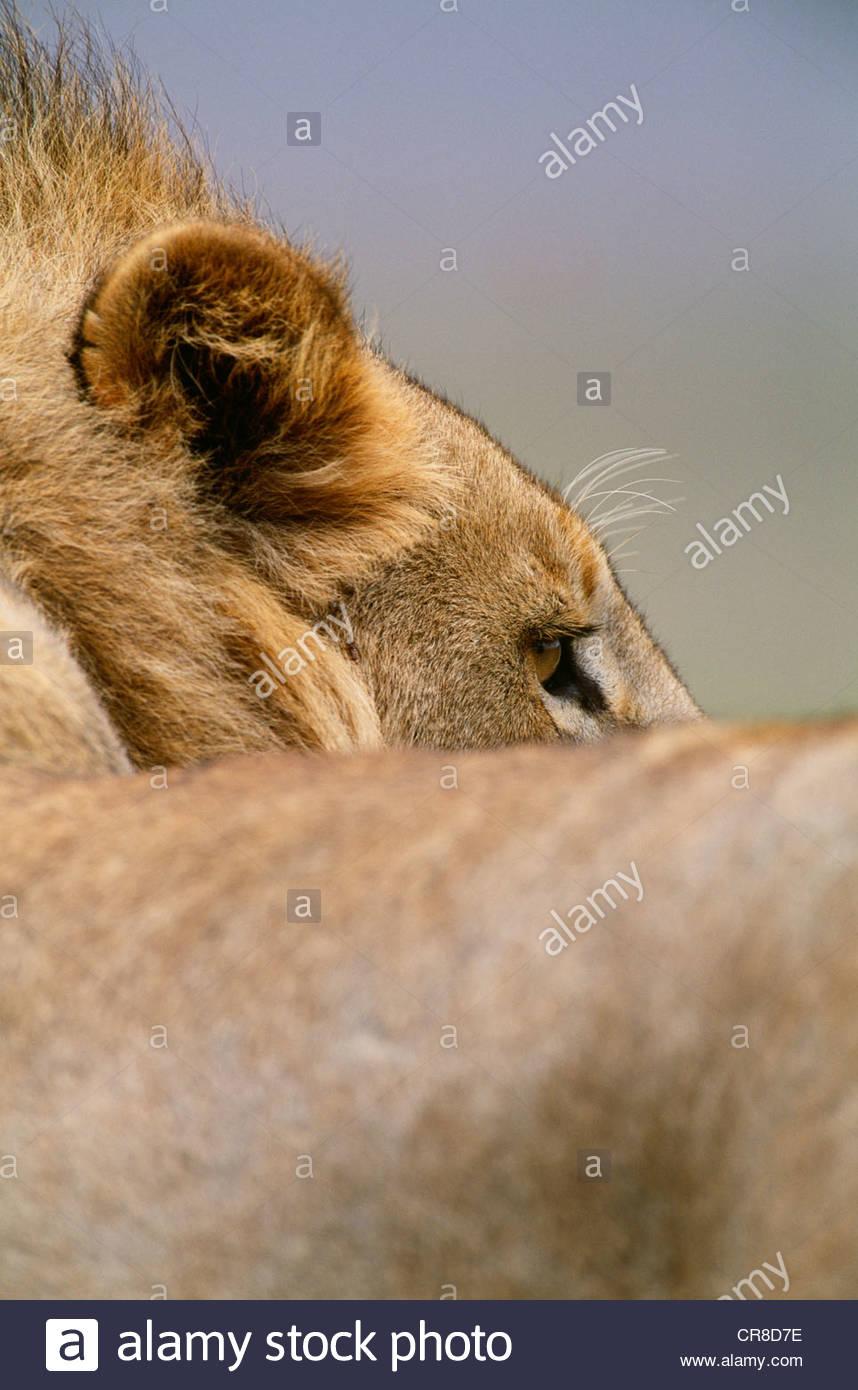 Lion d'Afrique, la Ngorongoro Conservation Area, Tanzania Photo Stock
