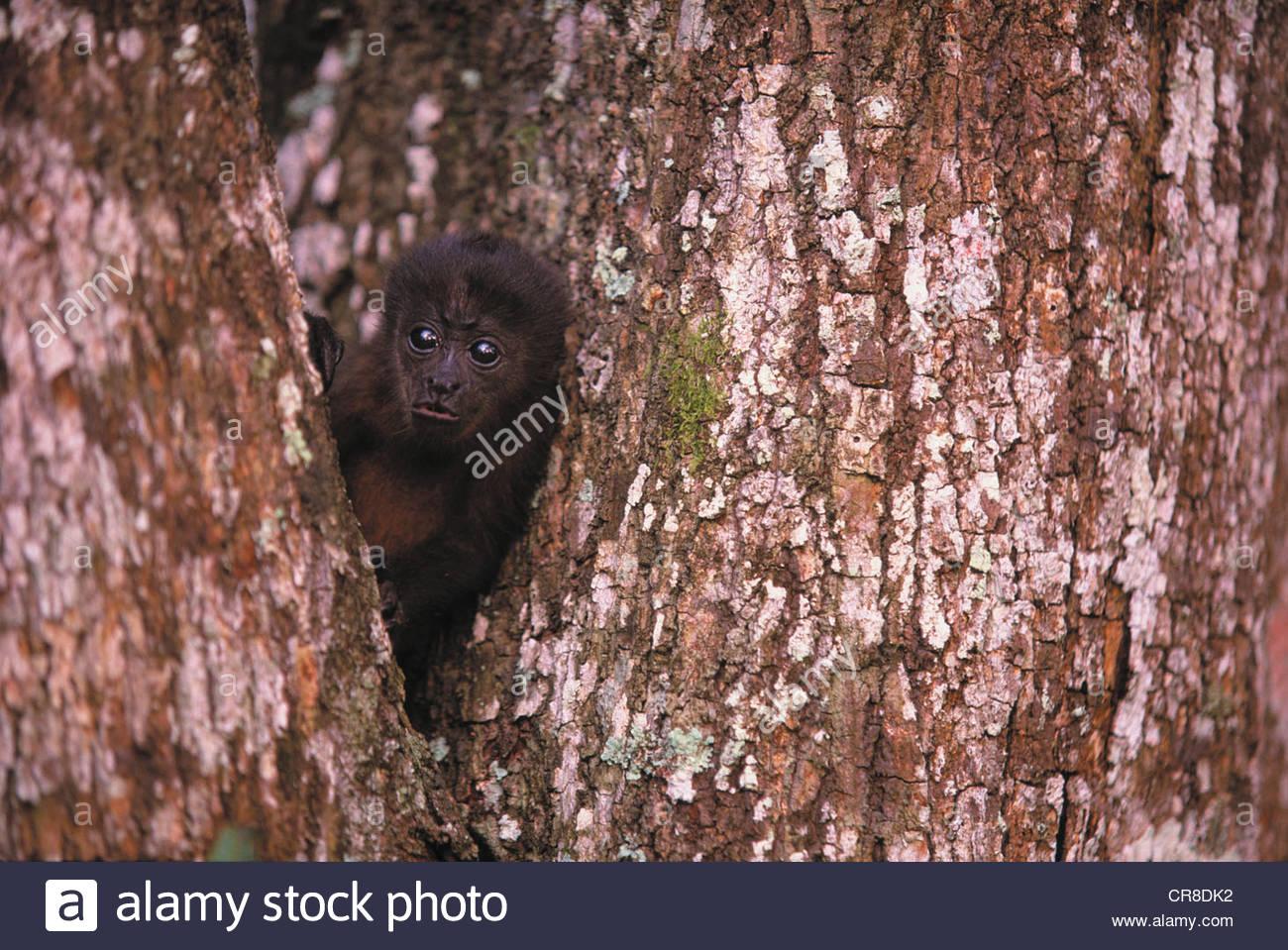 Singe hurleur noir, Islas Bocas del Toro, PANAMA Photo Stock