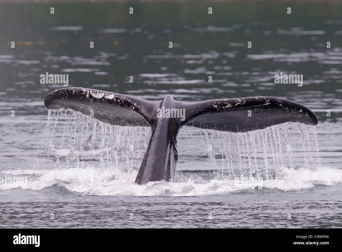 Queue de baleine à bosse Photo Stock