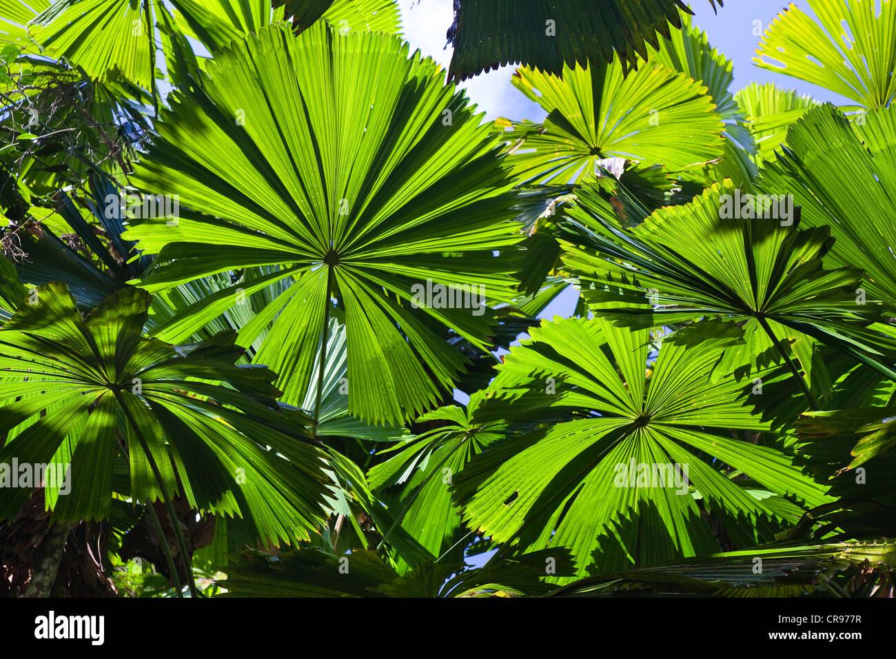 Palmiers australiens (Licuala ramsayi) dans la forêt tropicale, Mission Beach, Queensland du nord, Australie Photo Stock