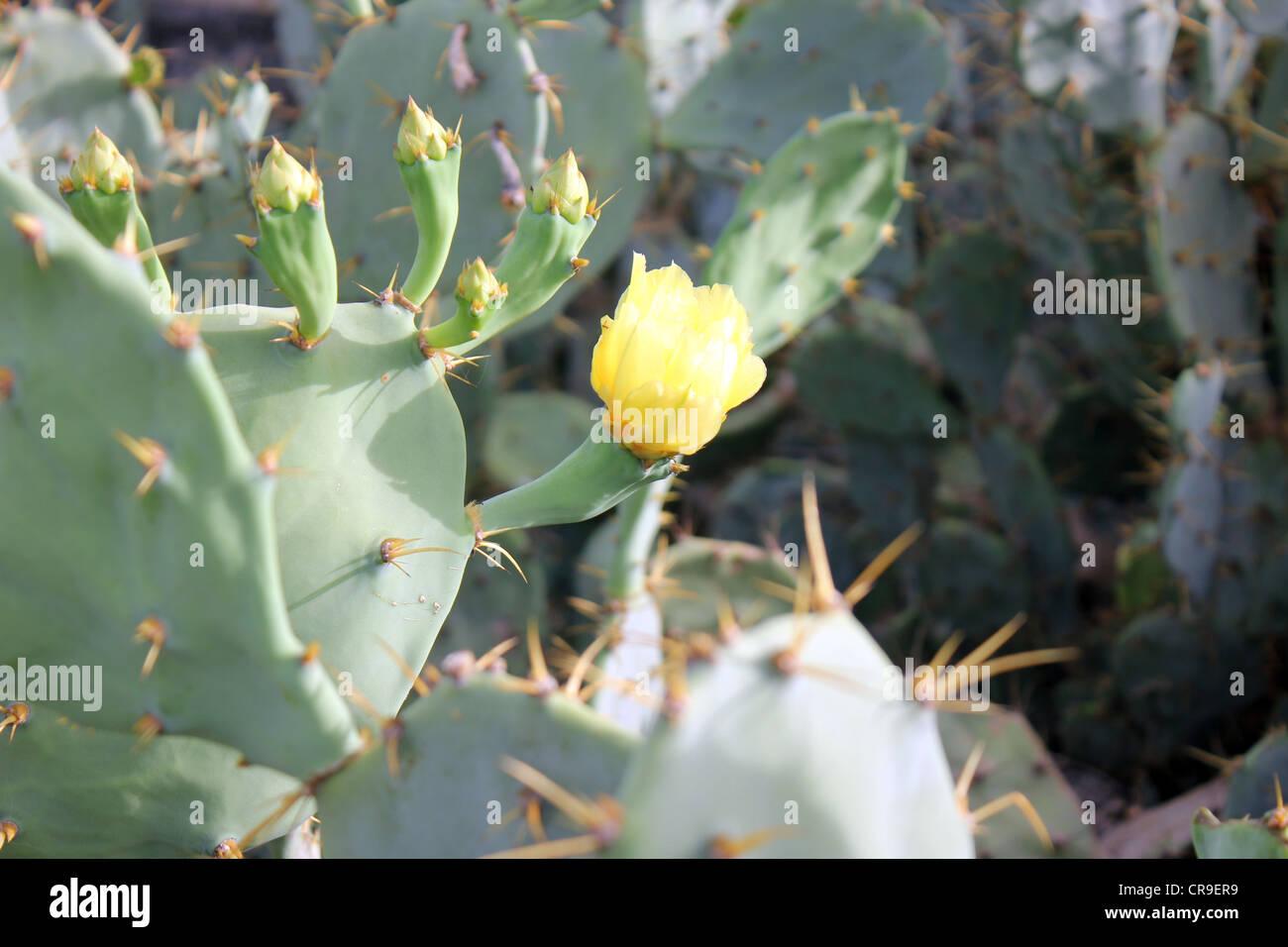 Très épineux cactus avec des boutons de fleurs et fleur jaune Photo Stock