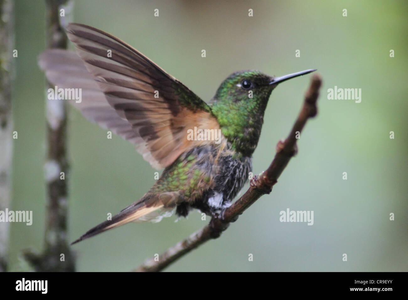 Oiseau de ronflement avec ailes déployées Photo Stock