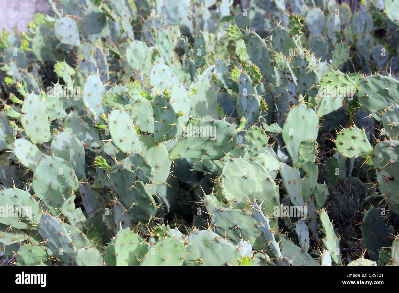 Très épineux cactus, vert Photo Stock
