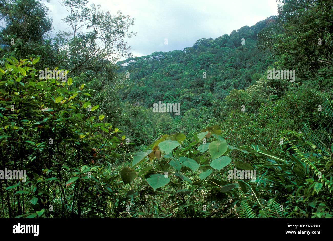 Les forêts tropicales dans la réserve forestière de Sinharaja, Sri Lanka Banque D'Images