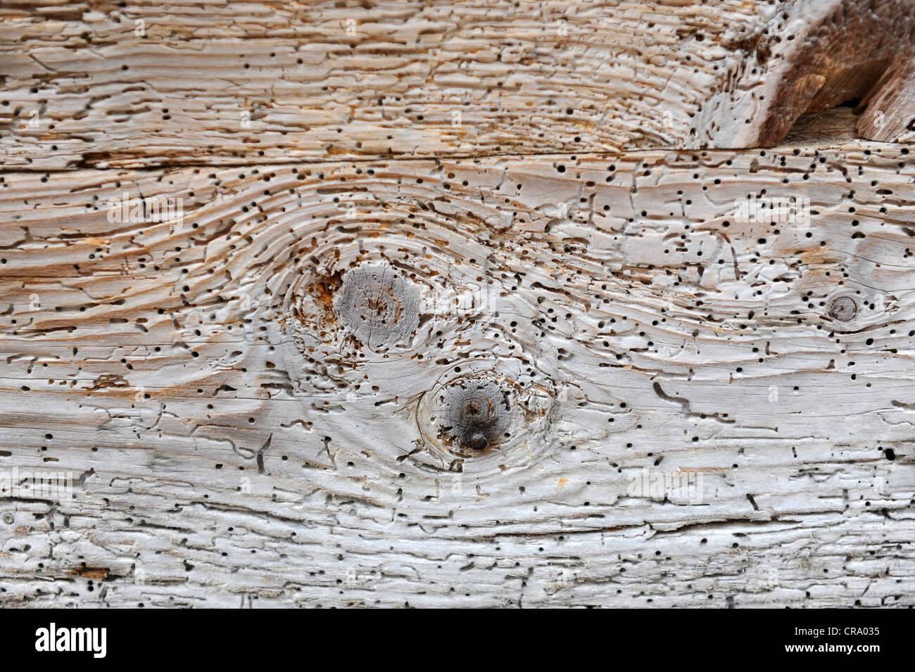 Woodworm Golf Polo à trous sur le vieux bois Photo Stock