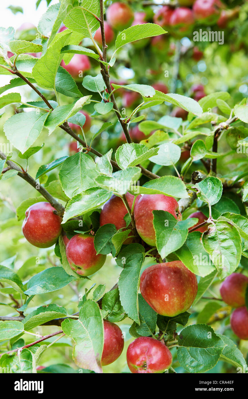 Close up of fruit growing on tree Photo Stock