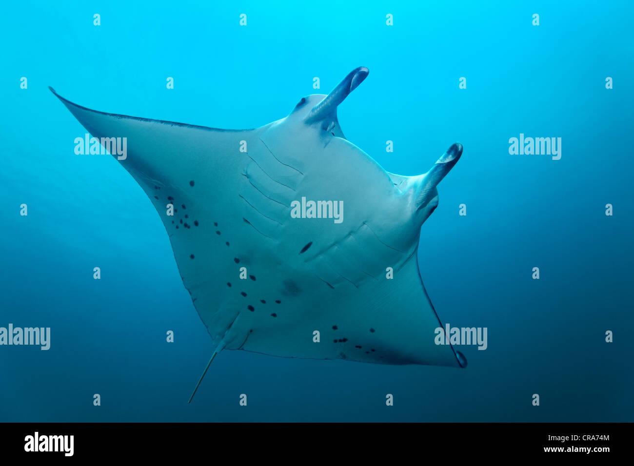 Manta (Manta birostris) Nager dans l'eau bleue, Grande Barrière de Corail, site du patrimoine mondial de l'Australie, Banque D'Images