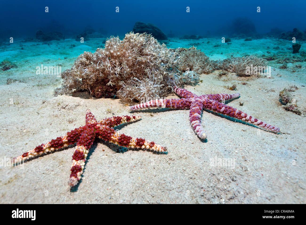 Bulle bagués ou Starfish Starfish verruqueuse (Echinaster callosus), Sabang Beach, Puerto Galera, , Philippines, Photo Stock