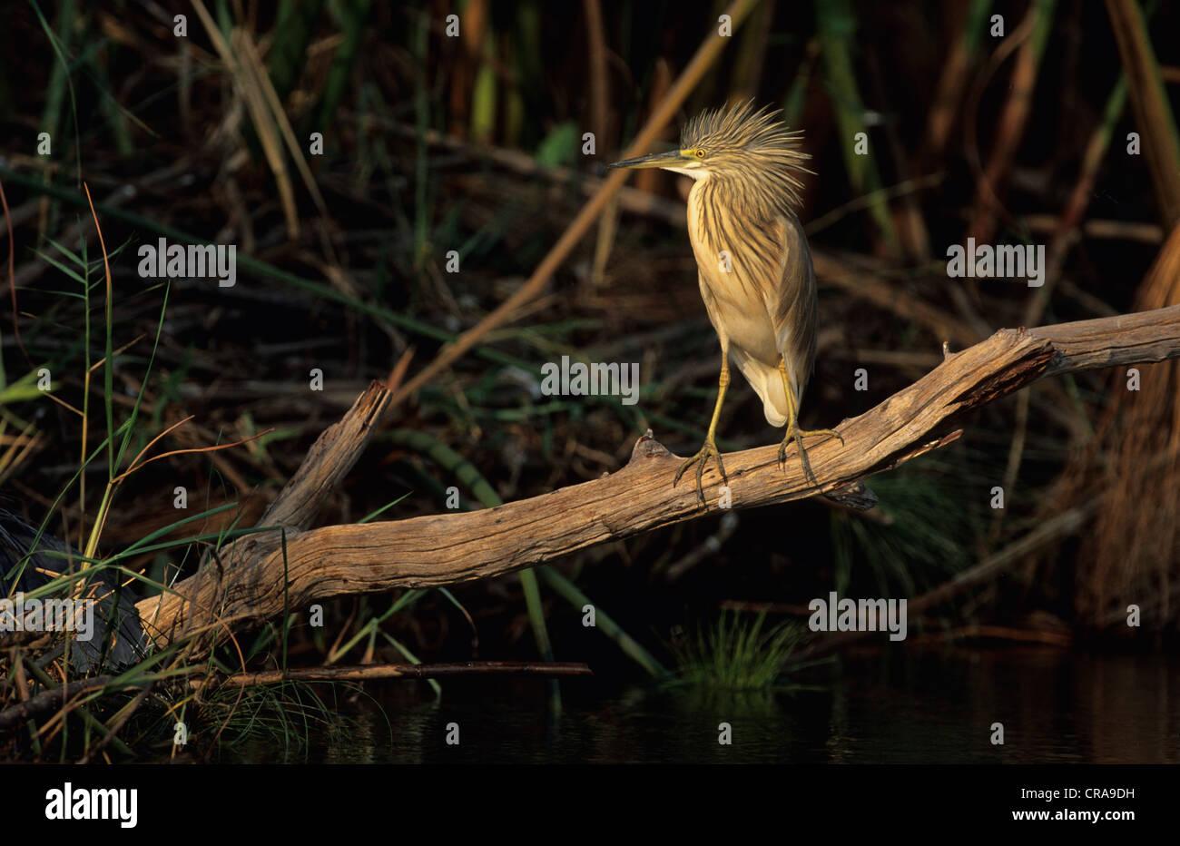 Crabier chevelu (ardeola ralloides), menace l'affichage, okavango delta, botswana, Africa Photo Stock