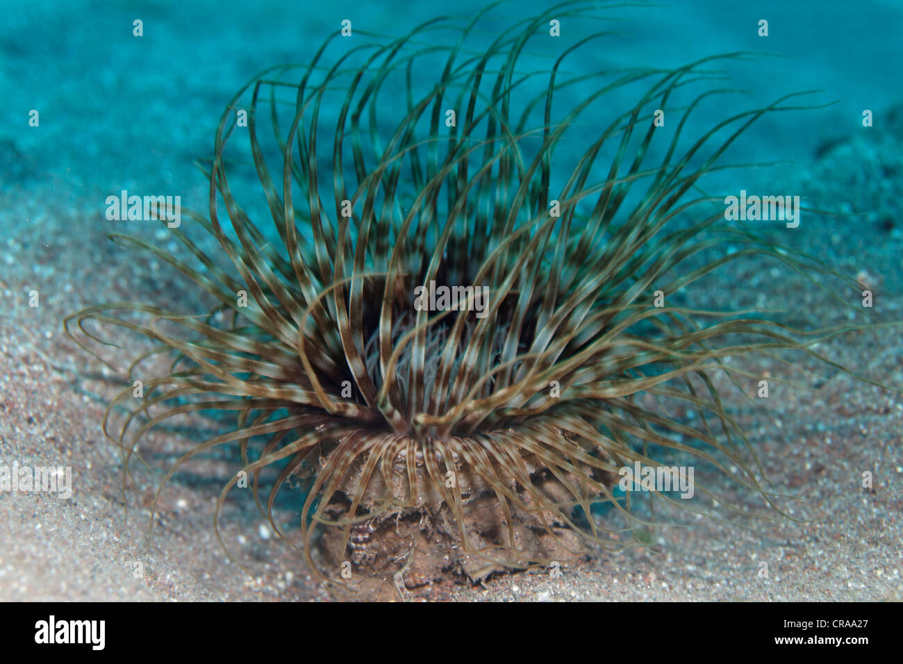 Anomone tubicoles (Ceriantharia) dans le sable, Madeira, Portugal, Europe, Océan Atlantique Photo Stock