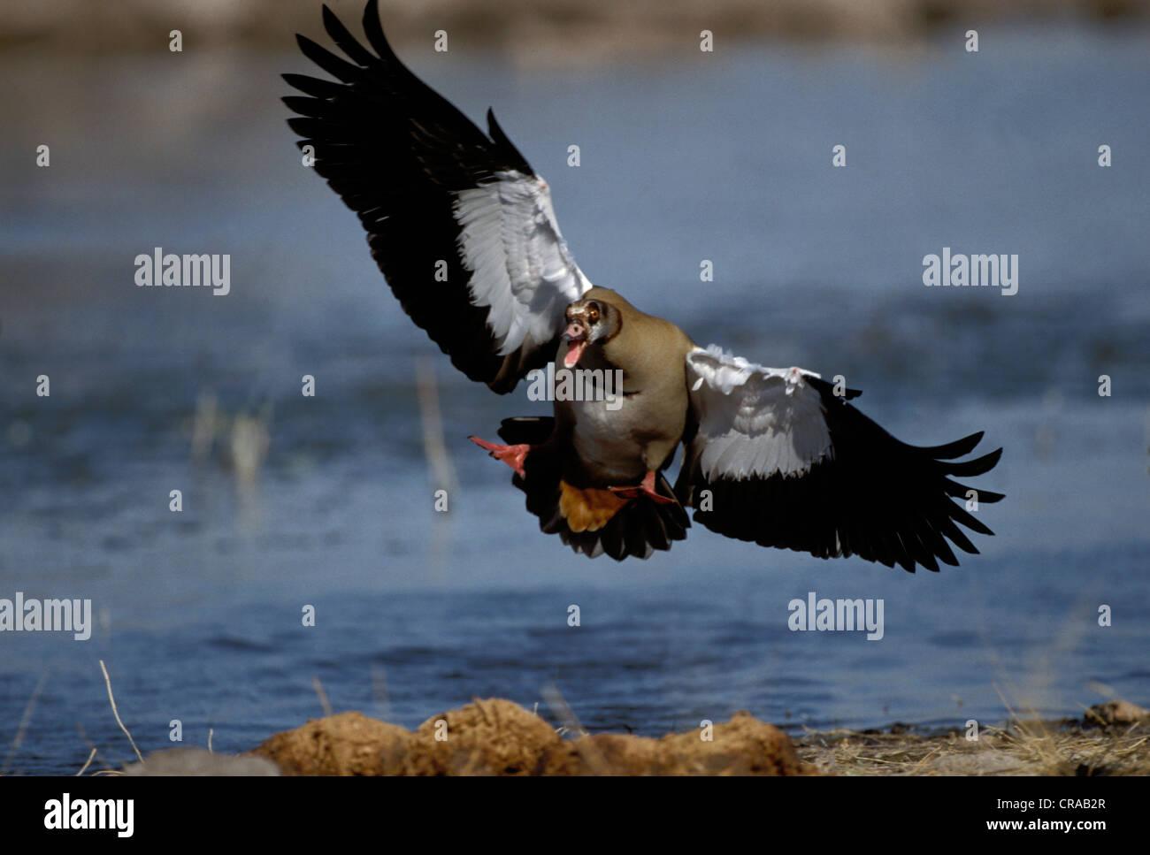Egyptian goose (Alopochen aegyptiacus), affichage de la menace, Etosha National Park, Namibie, Afrique Photo Stock