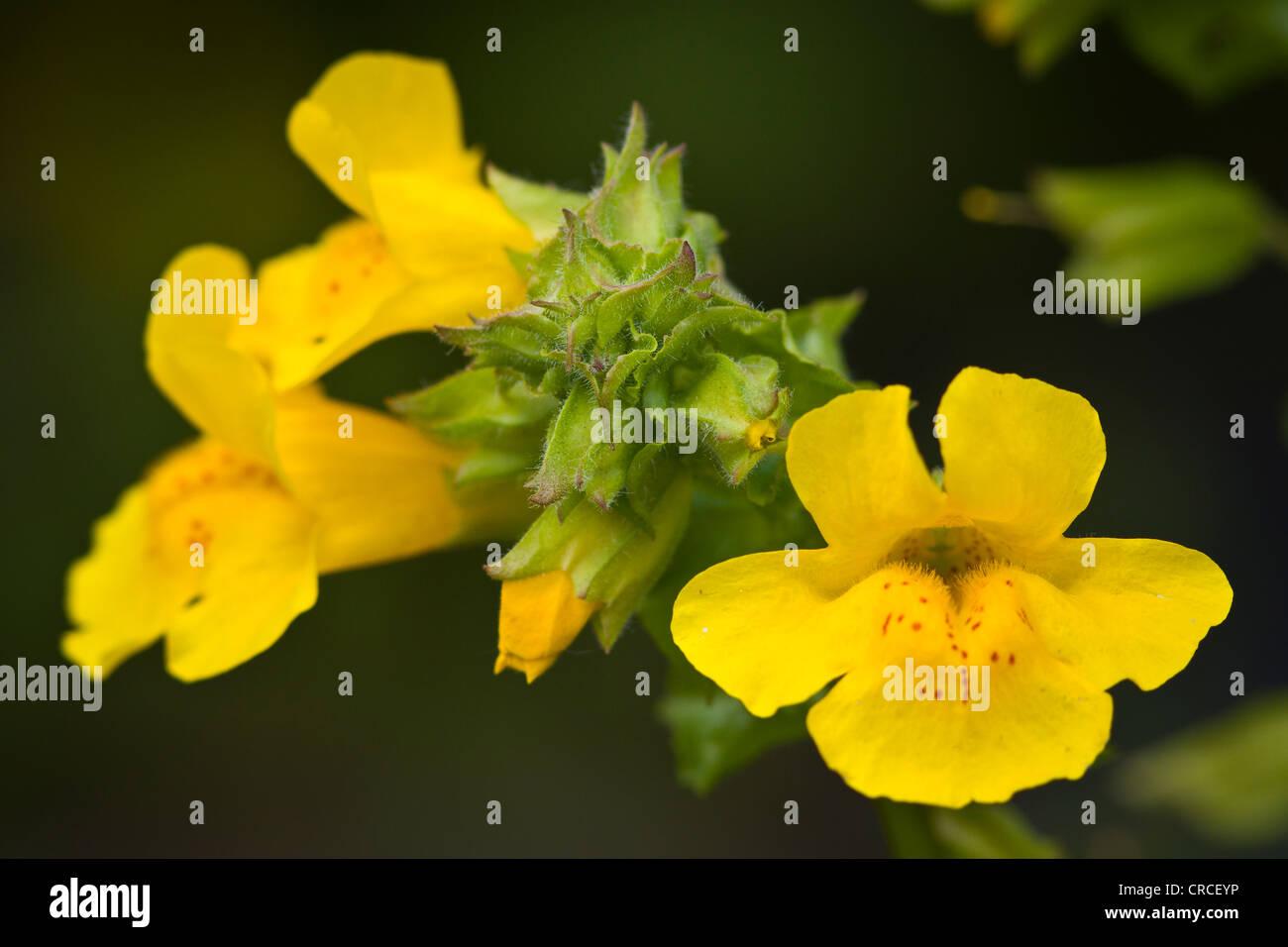 Mimulus Jaune Cote Etang Prolifique Plante Avec Des Fleurs Jaune Et