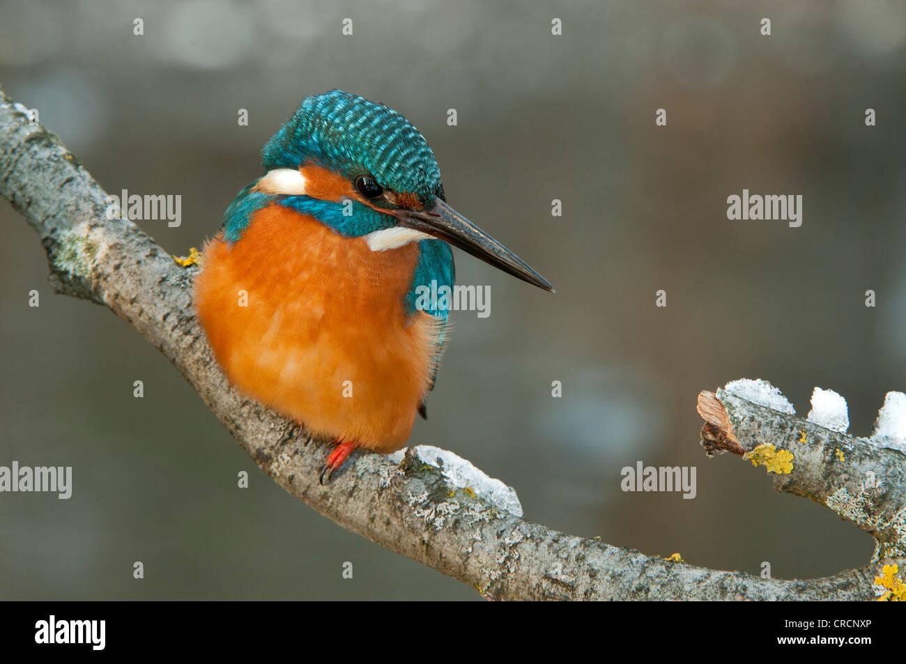 Kingfisher (Alcedo atthis), zone de conservation de Tratzberg, Tyrol, Autriche, Europe Photo Stock