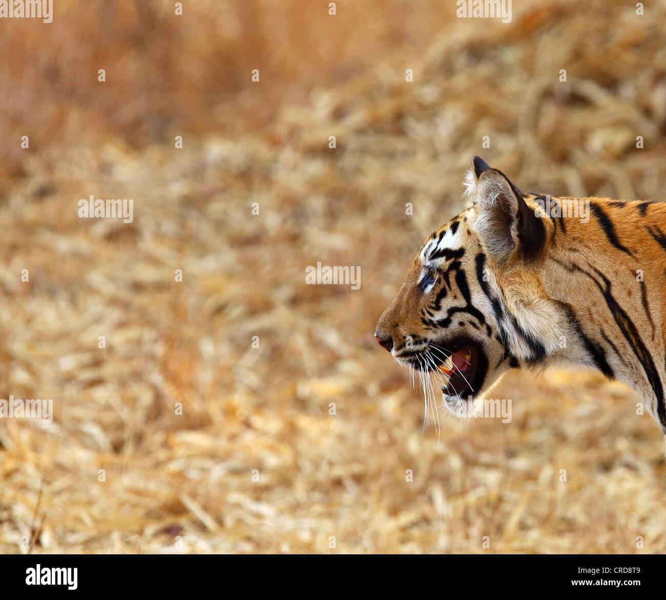 Jeune tigre du Bengale coller la tête - idéal pour mettre en fond d'écran PC. Photo Stock