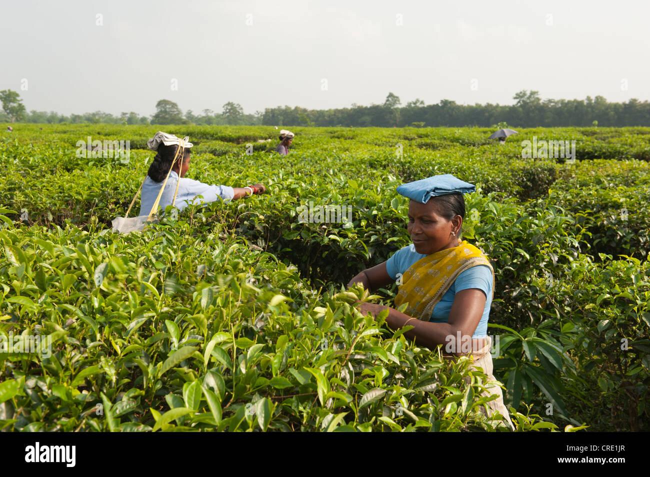 Les cueilleurs de thé au travail, près de Darjeeling, au Bengale occidental, en Inde, en Asie du Sud, Photo Stock