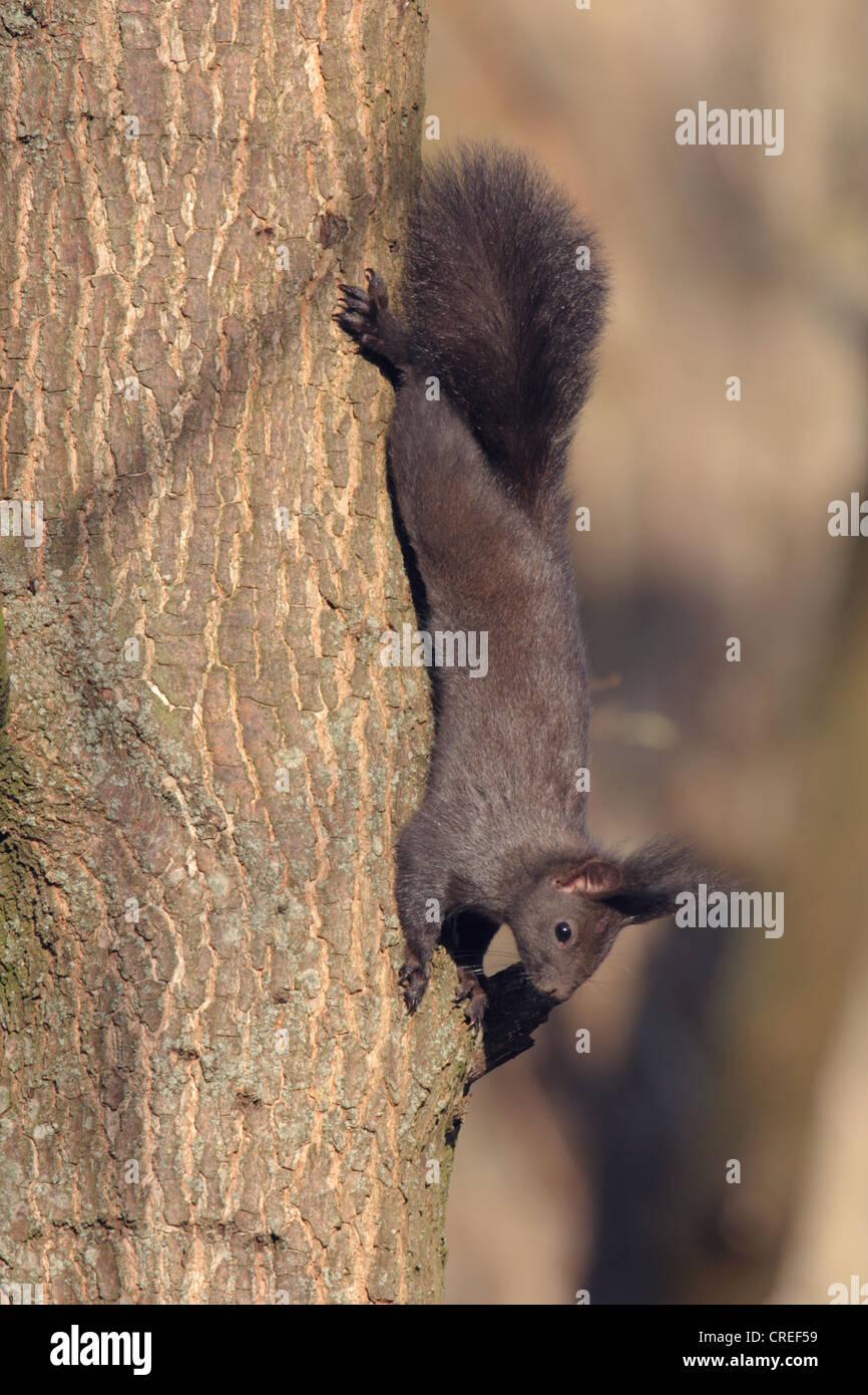 L'écureuil roux européen eurasien, l'écureuil roux (Sciurus vulgaris), noir, tête la première escalade à un tronc d'arbre, de l'Allemagne, la Bavière Banque D'Images