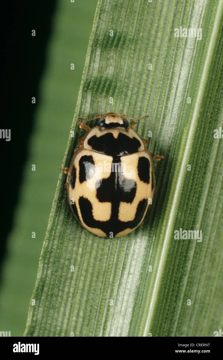 Spot ladybird (Propylea 14 quattuordecempunctata) des profils Photo Stock