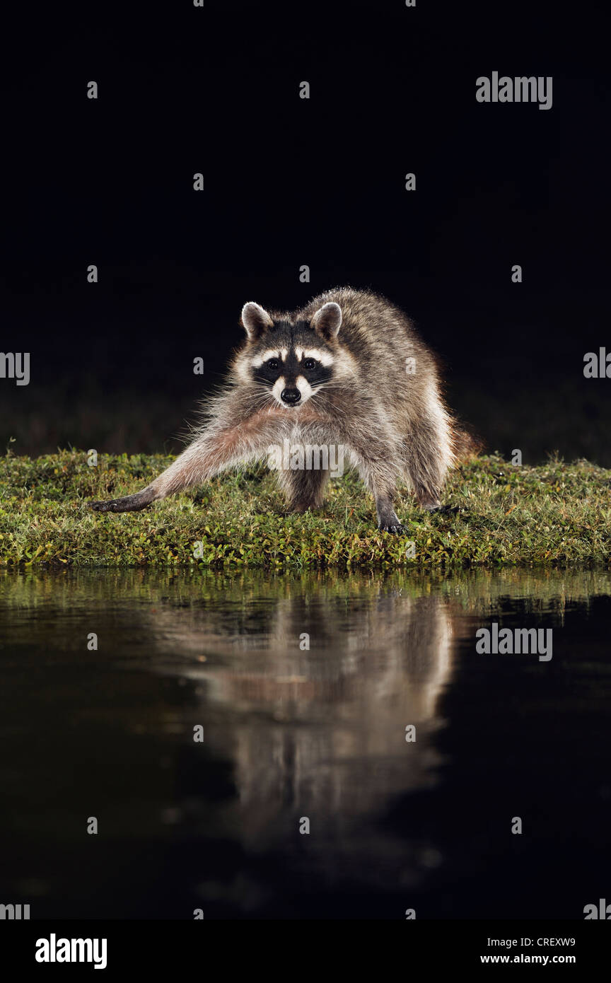 Raton laveur (Procyon lotor), des profils de nuit à l'étang, Dinero, Lake Corpus Christi, Texas, États Photo Stock