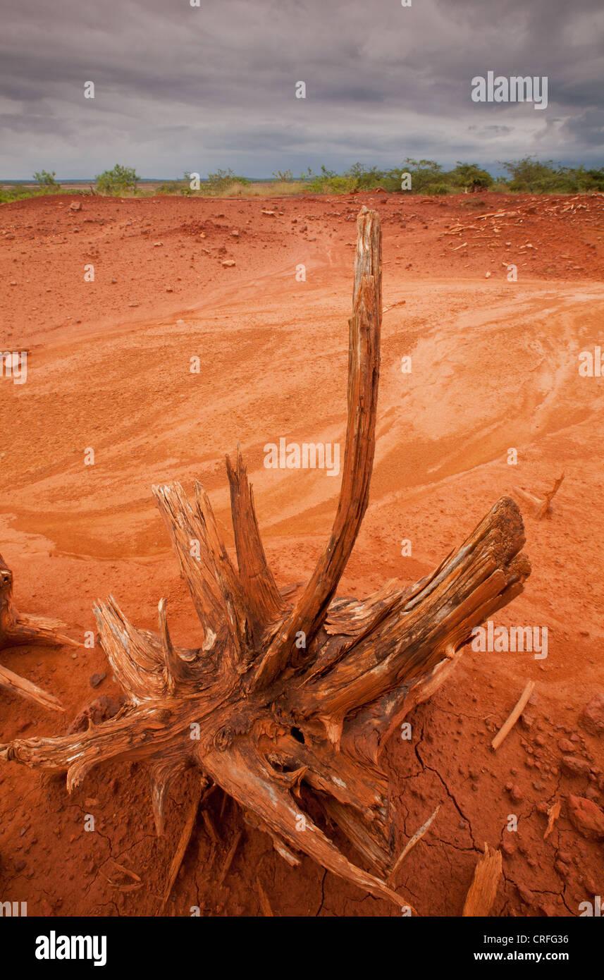 Arbre sec dans le parc national de Sarigua (désert), Herrera province, République du Panama. Banque D'Images