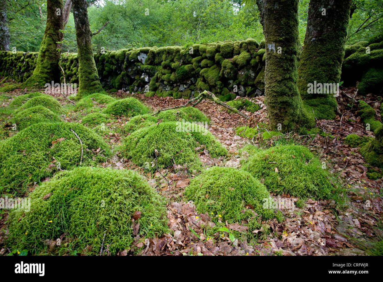 Bois de Cris, Dumfries et Galloway, Écosse Photo Stock