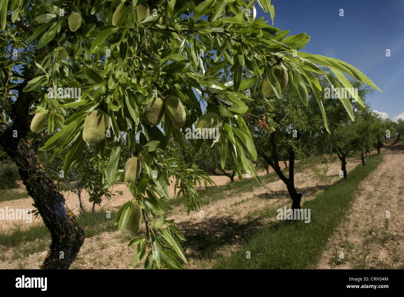 Photo: Steve Race - Llargueta amandes sur l'arbre, Catalunya, Espagne. Photo Stock