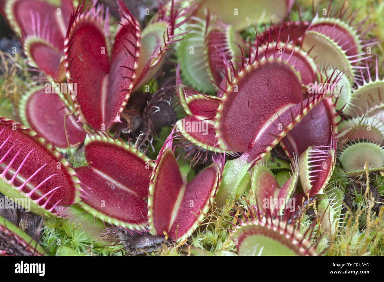 Venus Flytrap ' B52' plantes croissant 'Dionaea muscipula'. Banque D'Images