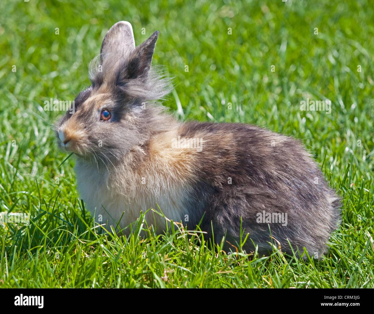 Lionhead rabbit couleur Arlequin, UK Banque D'Images