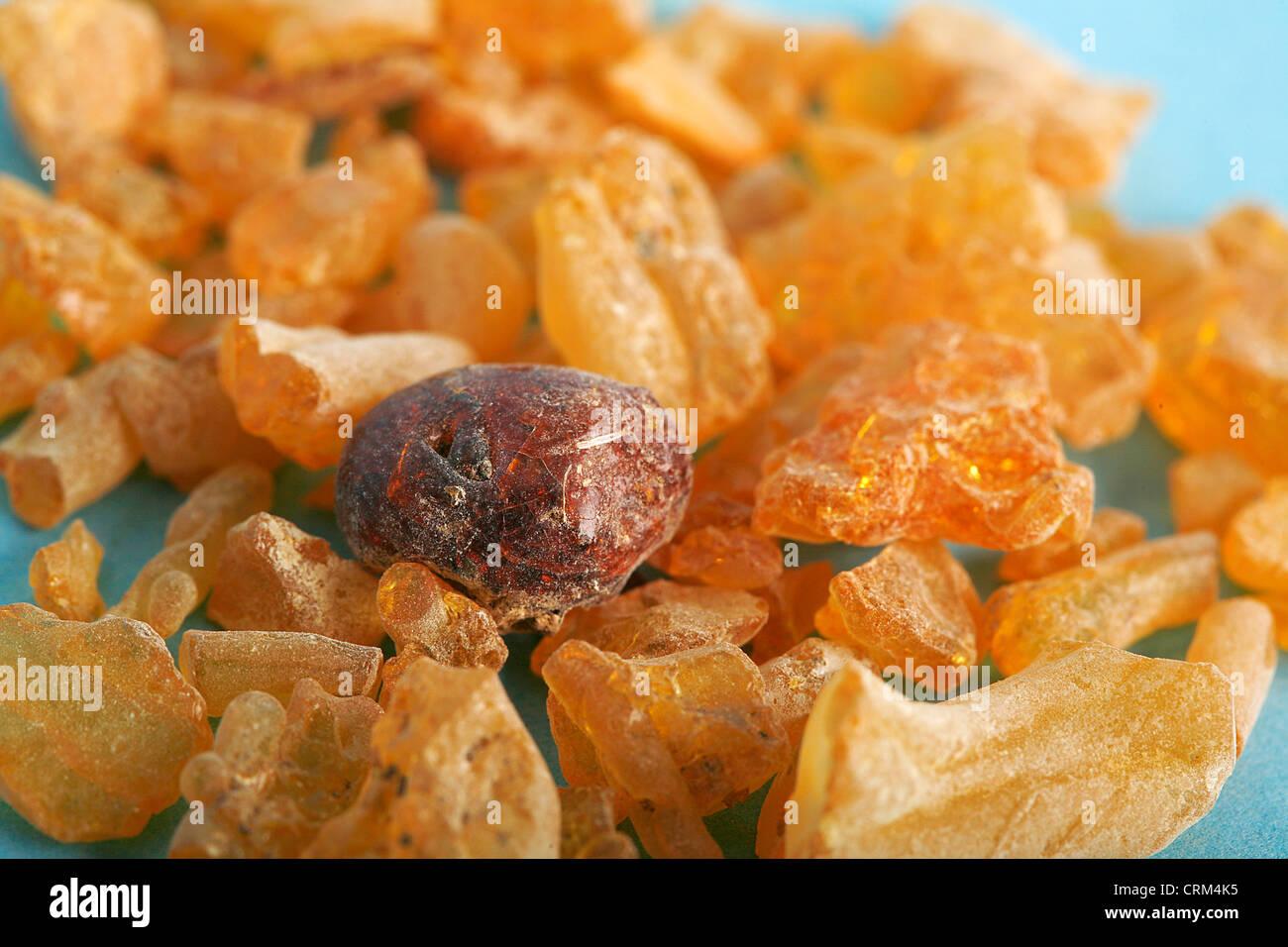 Gomme Sandarac est utilisé dans le Moyen-Orient comme remède contre la diarrhée, mais il n'a Photo Stock