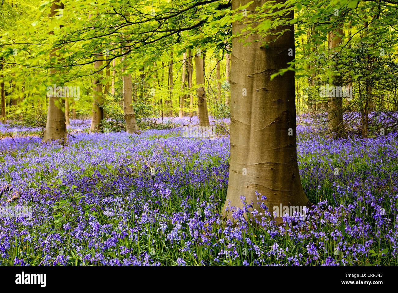 Un tapis de jacinthes dans l'ouest de bois près de Marlborough. Photo Stock